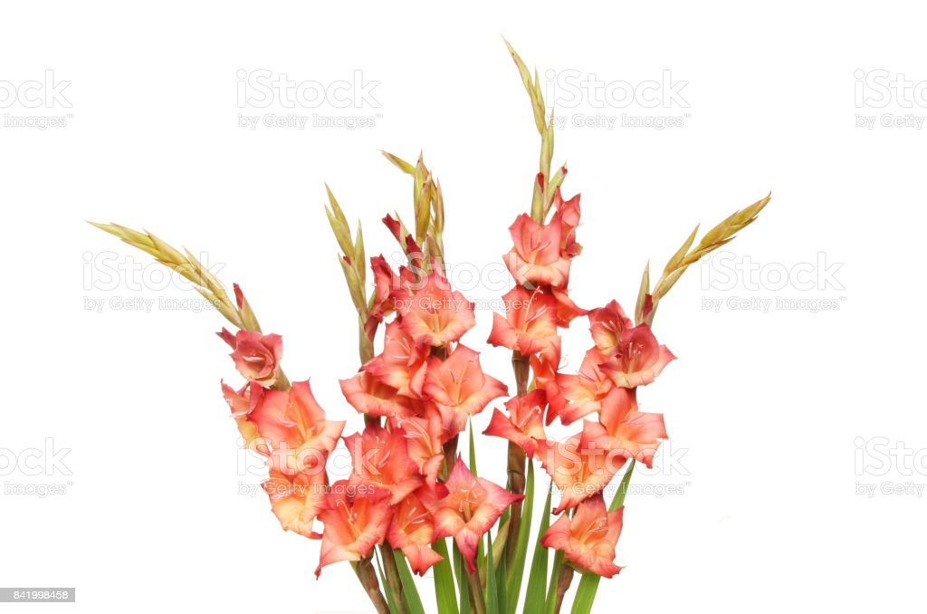 Gladioli spray stock photo