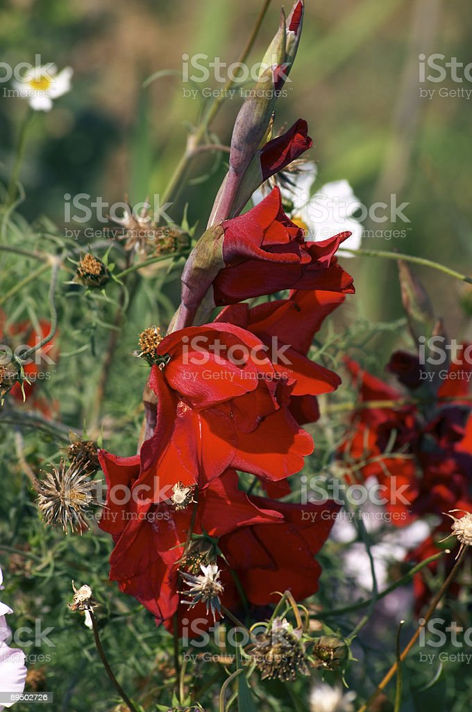 Gladiolus and Cosmea royalty-free stock photo