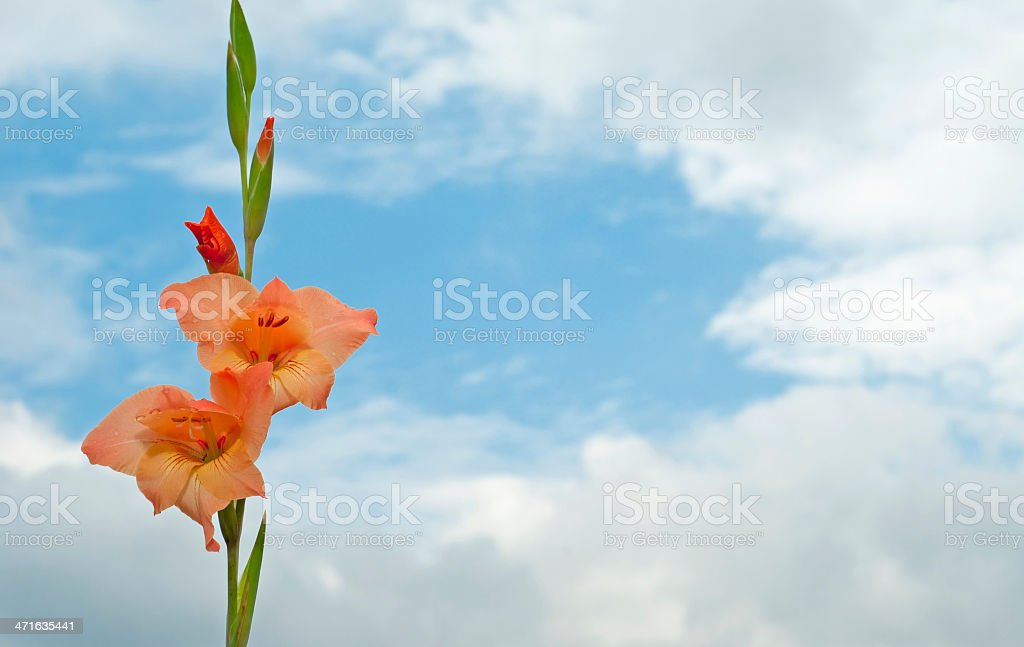 Gladiolus Flower in Cloudy  Sky royalty-free stock photo