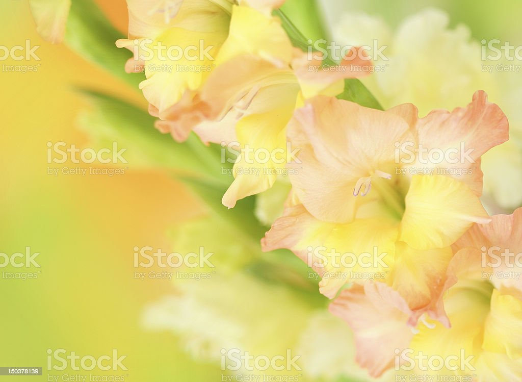 gladiolus flower on colorful background royalty-free stock photo
