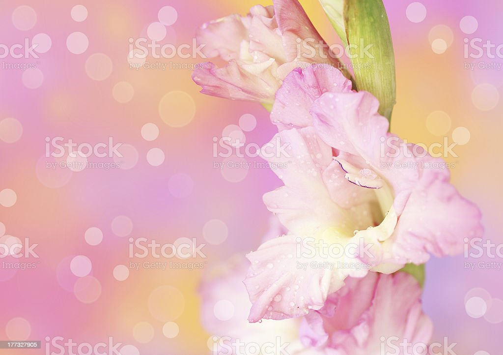gladiolus flower on defocused background royalty-free stock photo