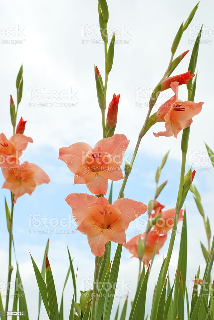 Gladiolus Flower stock photo