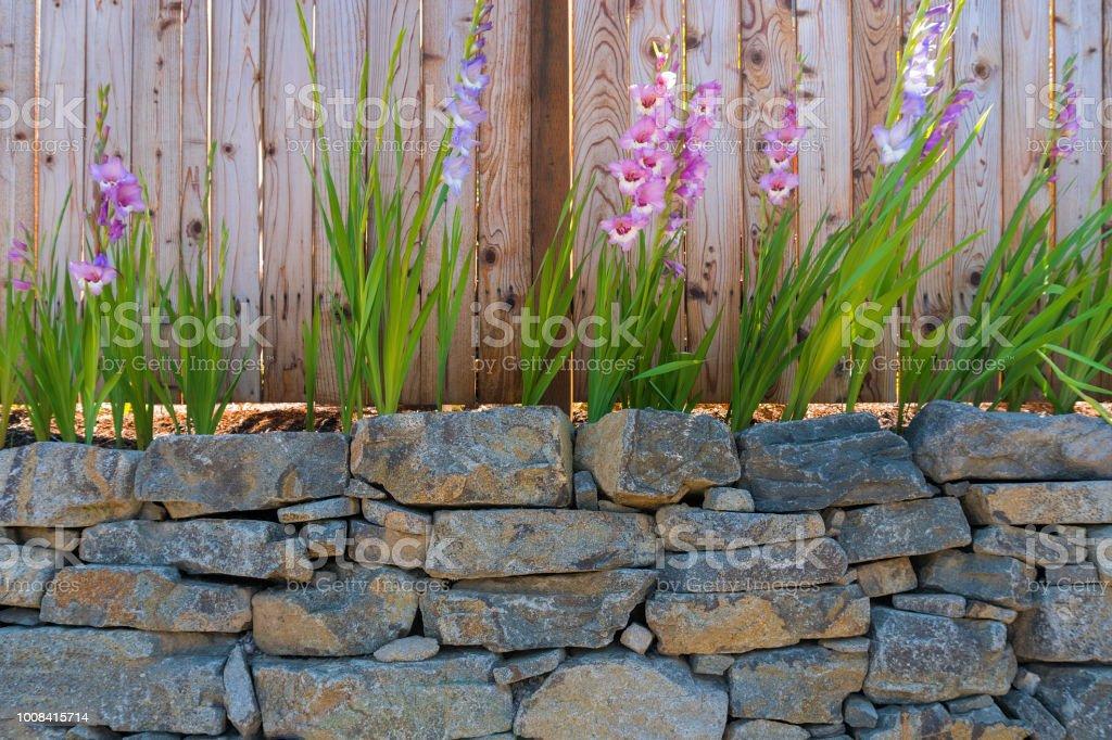 Gladiolen-Blüten blühen entlang dem Garten Holz Zaun im Sommer – Foto