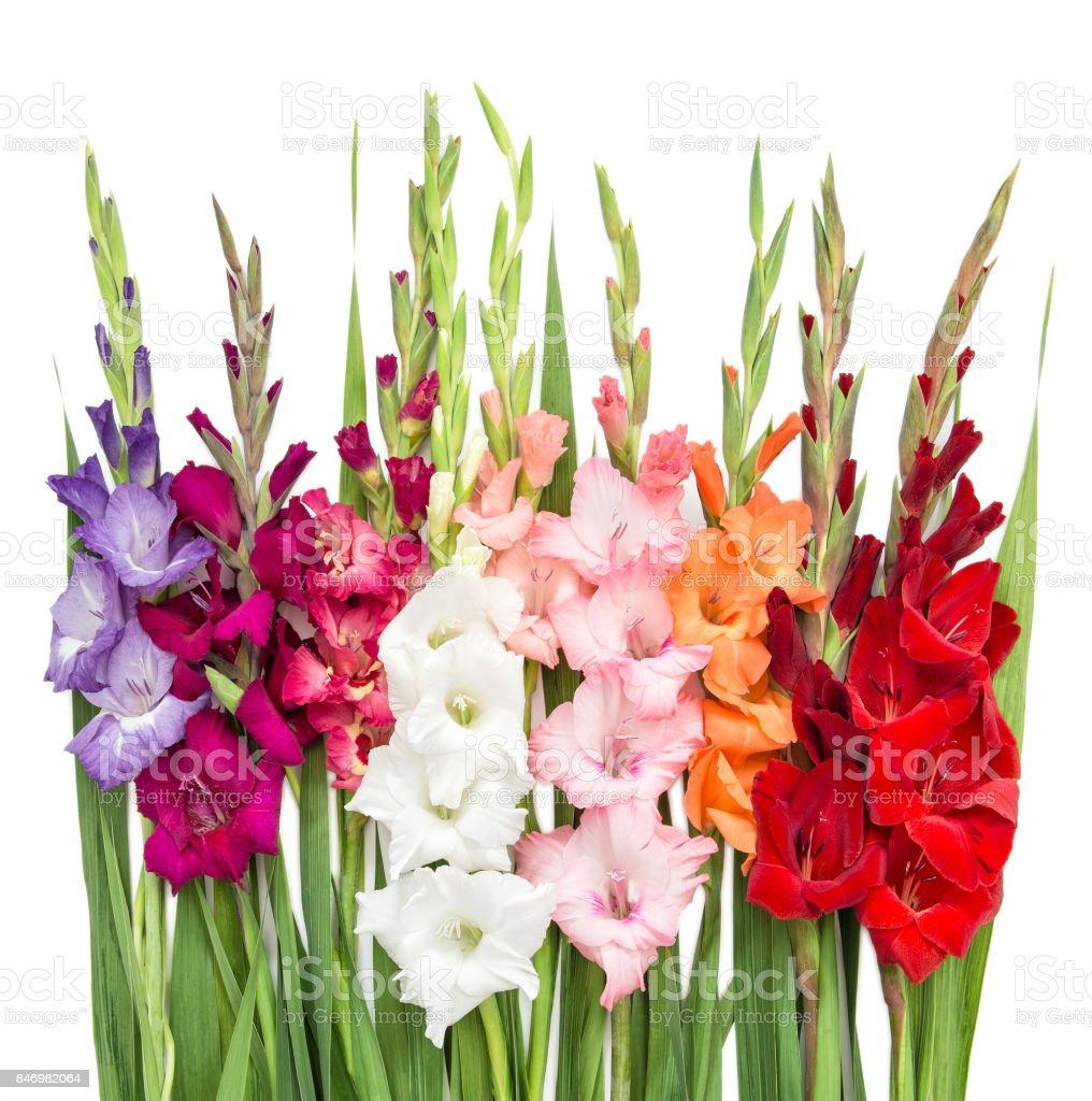 Gladiolus flowers isolated on white background stock photo