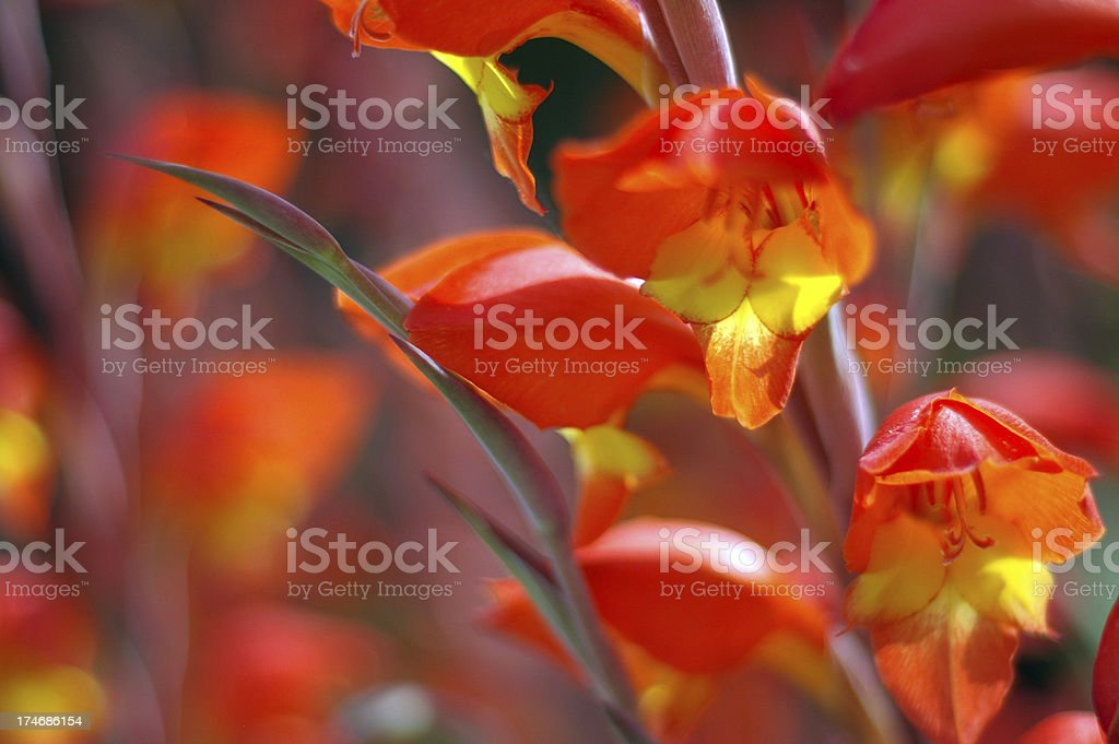 Gladiolus Flowers royalty-free stock photo