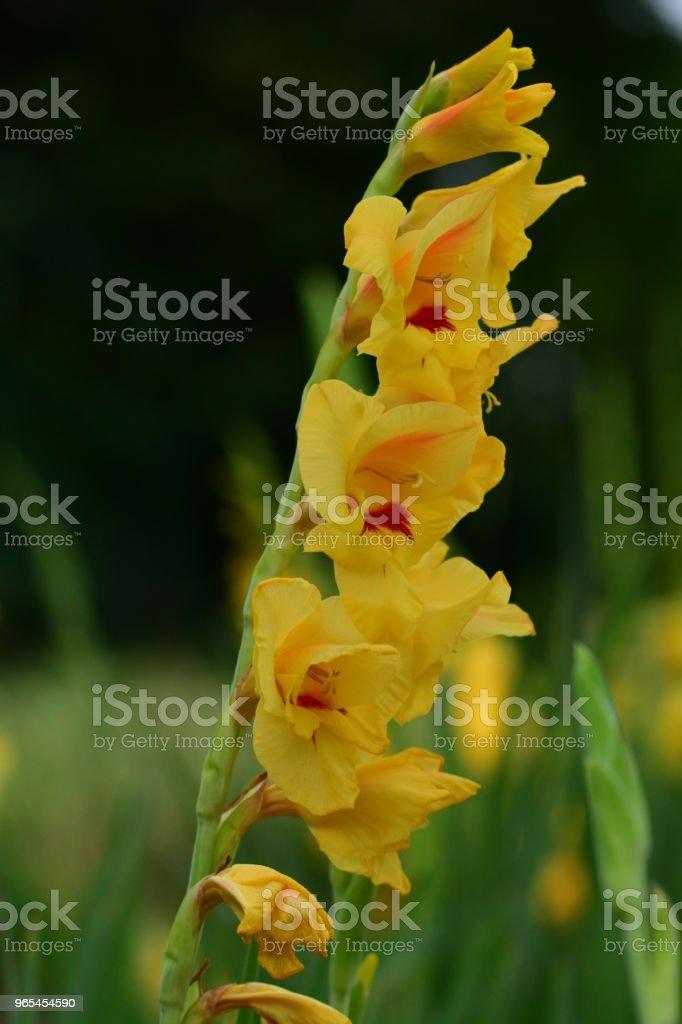 Gladiole Blumen - Lizenzfrei Baumblüte Stock-Foto