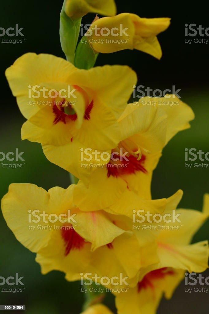 글라디올러스 꽃 - 로열티 프리 0명 스톡 사진