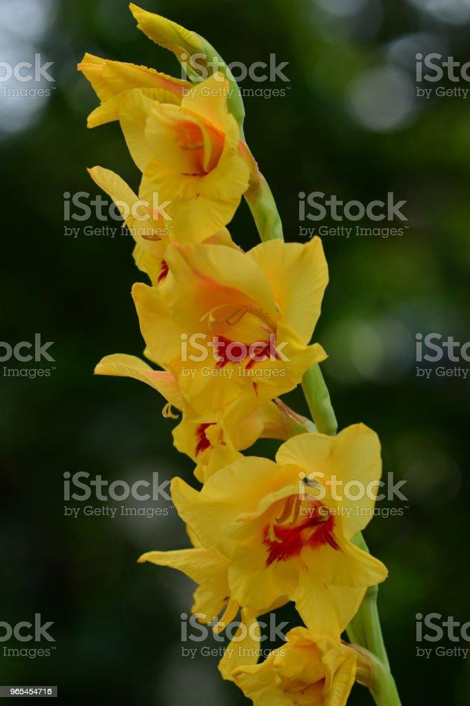 Fleurs de Glaïeul - Photo de Angiosperme libre de droits