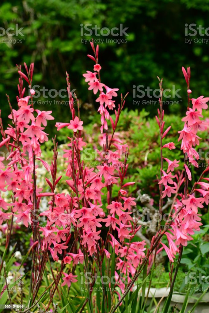 Gladiolus Flowers Stock Photo & More Pictures of Beauty In Nature
