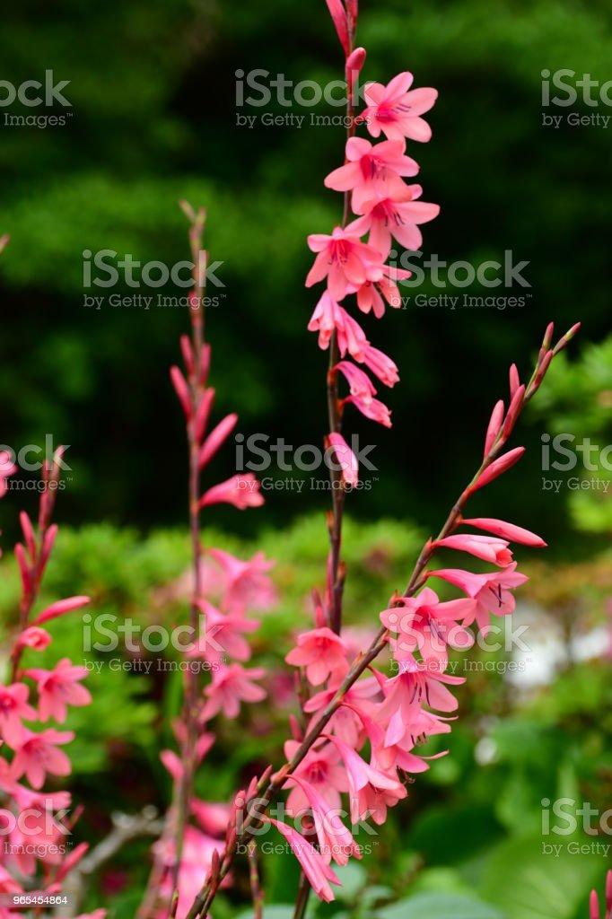 Gladiolus Flowers royalty-free stock photo