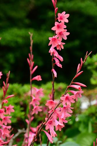 글라디올러스 꽃 0명에 대한 스톡 사진 및 기타 이미지