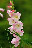 Gladiolus is summertime flower with a wide range of colors, ranging from orange and red to pastel blue, pink, yellow and white. Tall, tightly packed spikes of 6 to 8 blossoms open in sequence from the bottom with sword shaped foliage on stems, hence also the name of sword lily.
