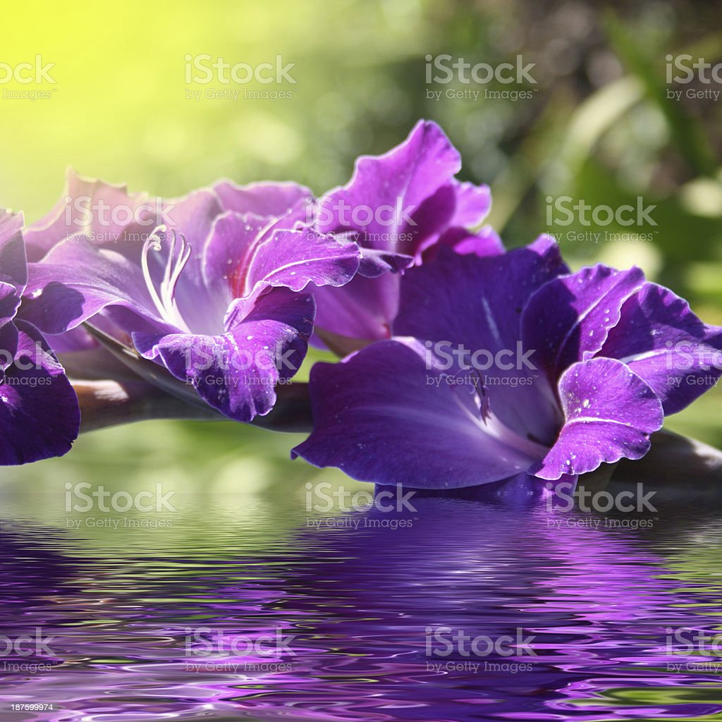 gladiolus in the water royalty-free stock photo