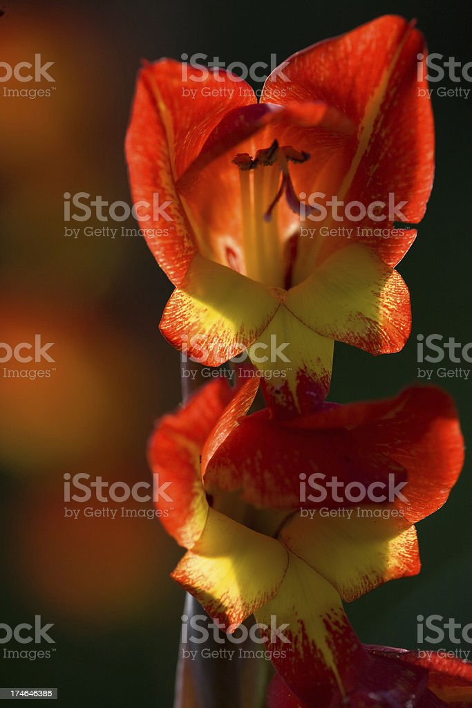 gladiolus on madeira royalty-free stock photo