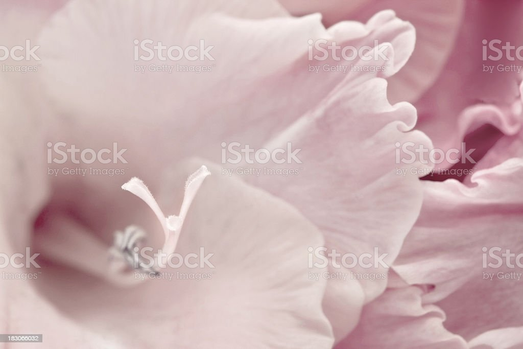 Gladiolus royalty-free stock photo