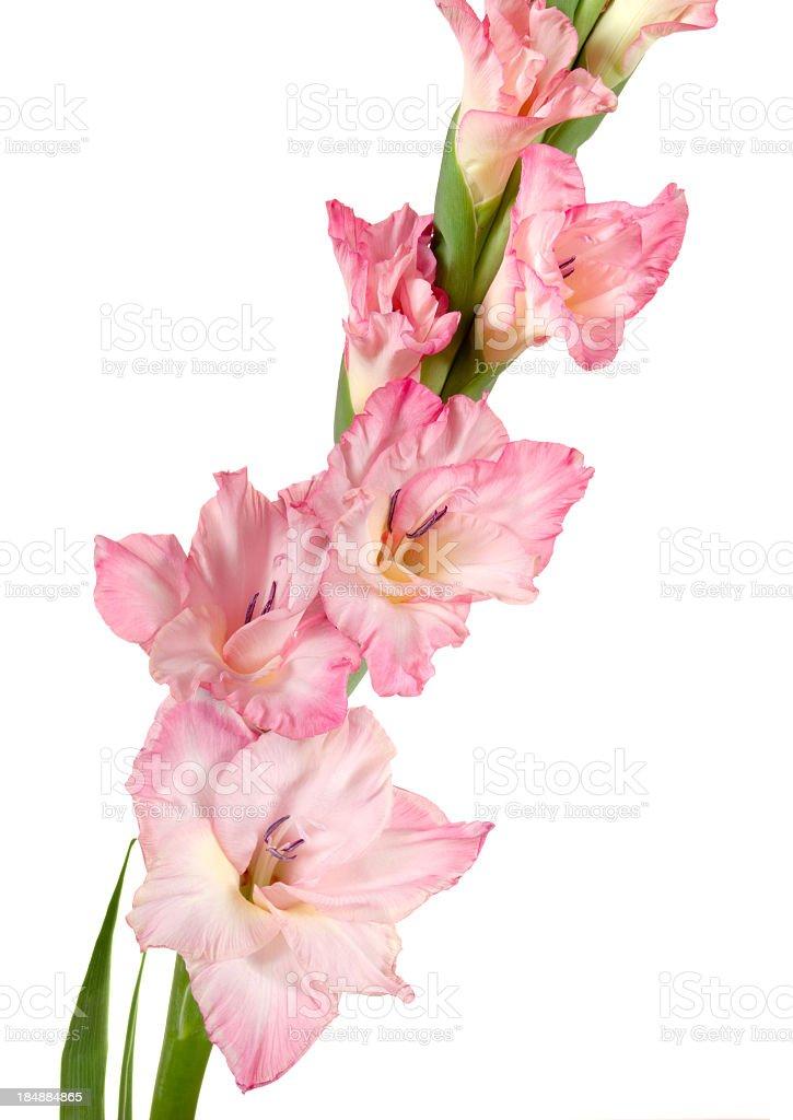 Gladiolus. royalty-free stock photo