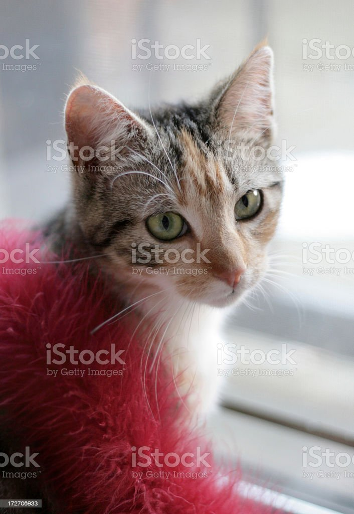 glamorous cat in red boa royalty-free stock photo