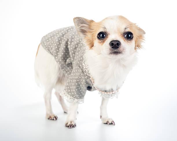 glamour avec chien chihuahua fashion robe avec collier de perles - chihuahua chien de race photos et images de collection