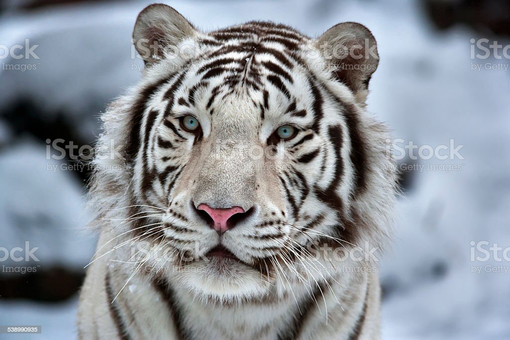 Glamour portrait of a young white bengal tiger. stock photo