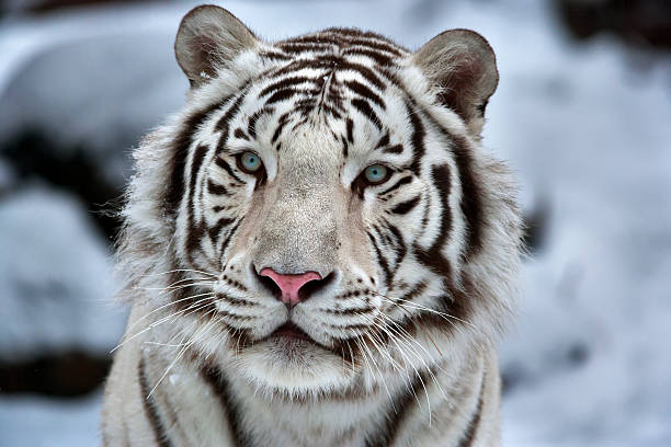 glamour portrait of a young white bengal tiger. - bengal tiger stock pictures, royalty-free photos & images