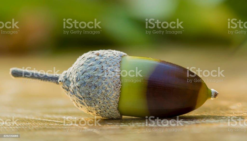Gland - fruit du chêne stock photo