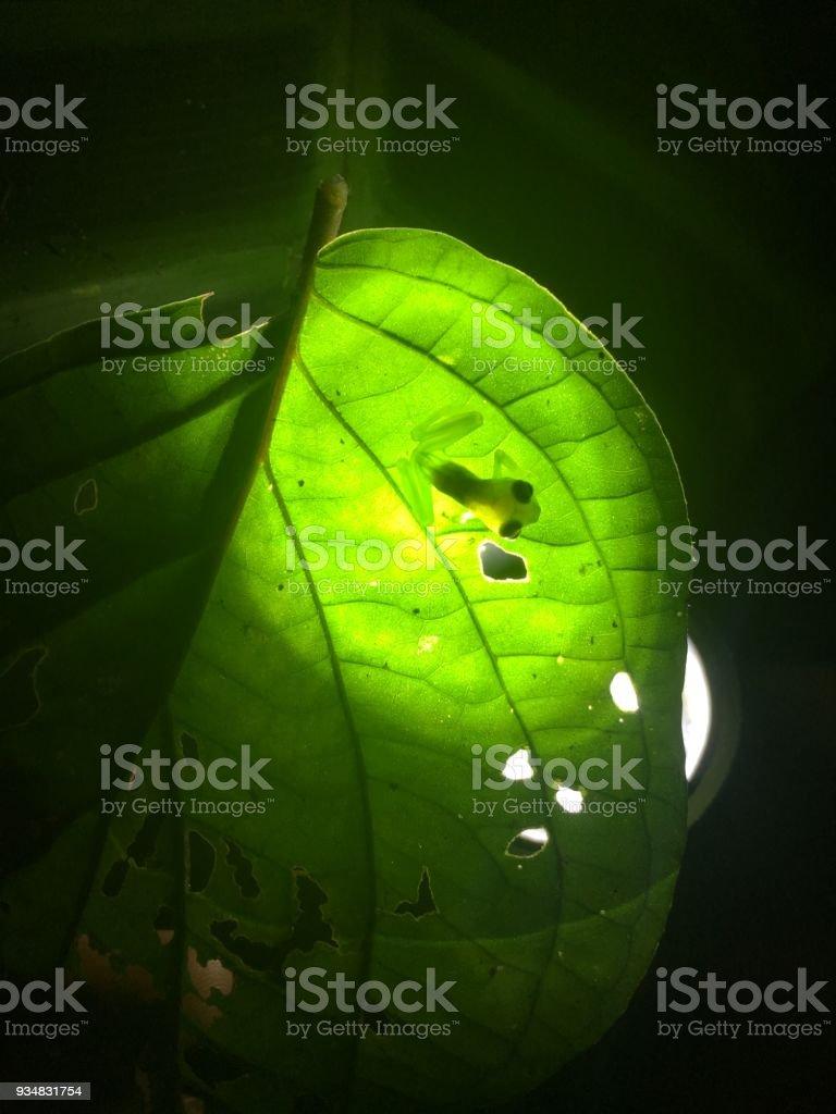코스타 리카의 유리 개구리 - 로열티 프리 0명 스톡 사진