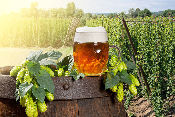 glass of beer with hop cones in the hop field stock photo