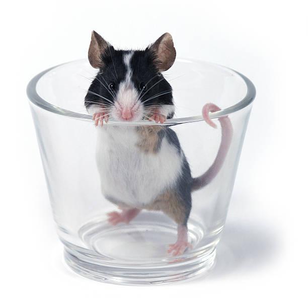 Glas sein wollte. Maus – Foto