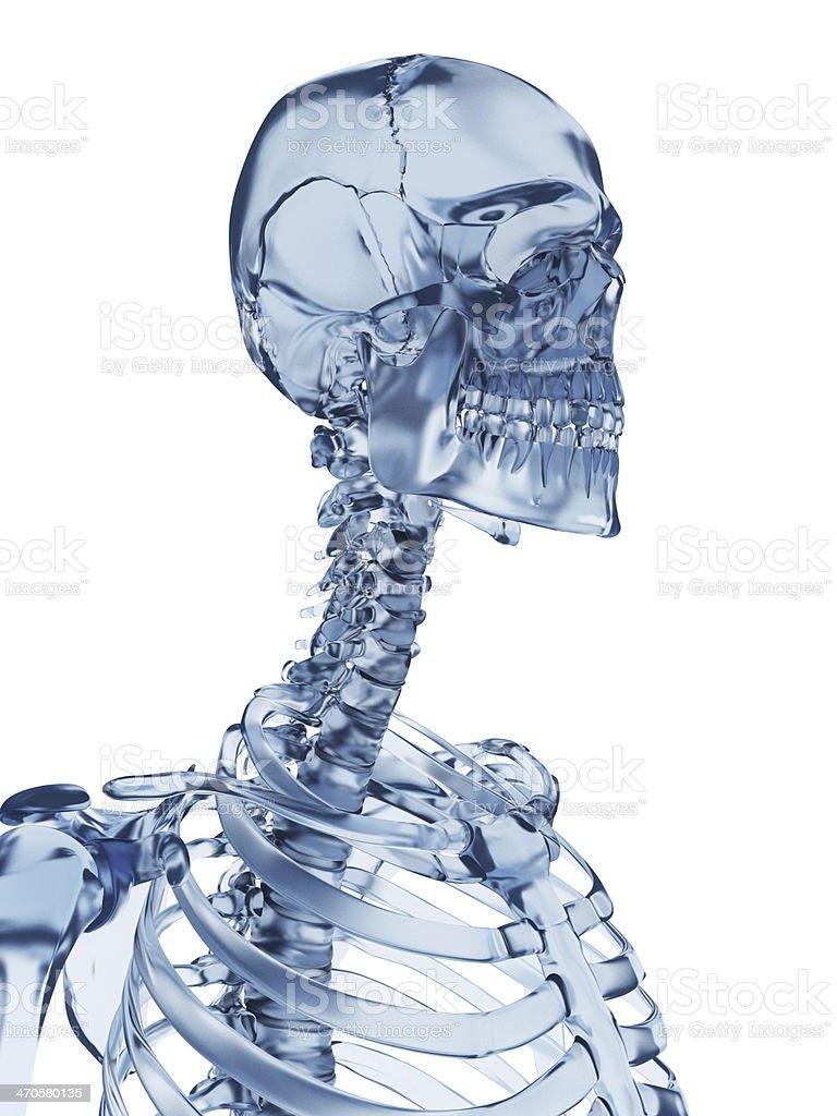 Esqueleto Cuello De Vidrio - Fotografía de stock y más imágenes de ...
