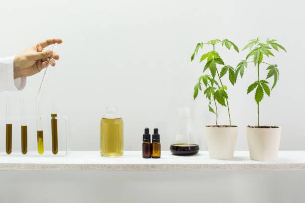 glasrör med cbd. vetenskaps man blandar cbd-olja med vätska. det finns kruk växter marijuana växt. hälso koncept. - carpel bildbanksfoton och bilder