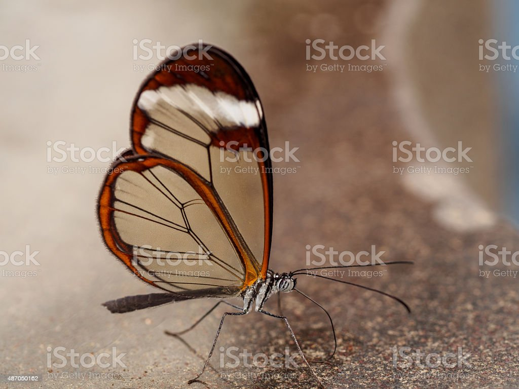 Glass wing on mamer stock photo