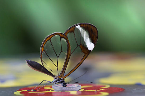 Glass Wings butterfly in natural environment abjure stock pictures, royalty-free photos & images