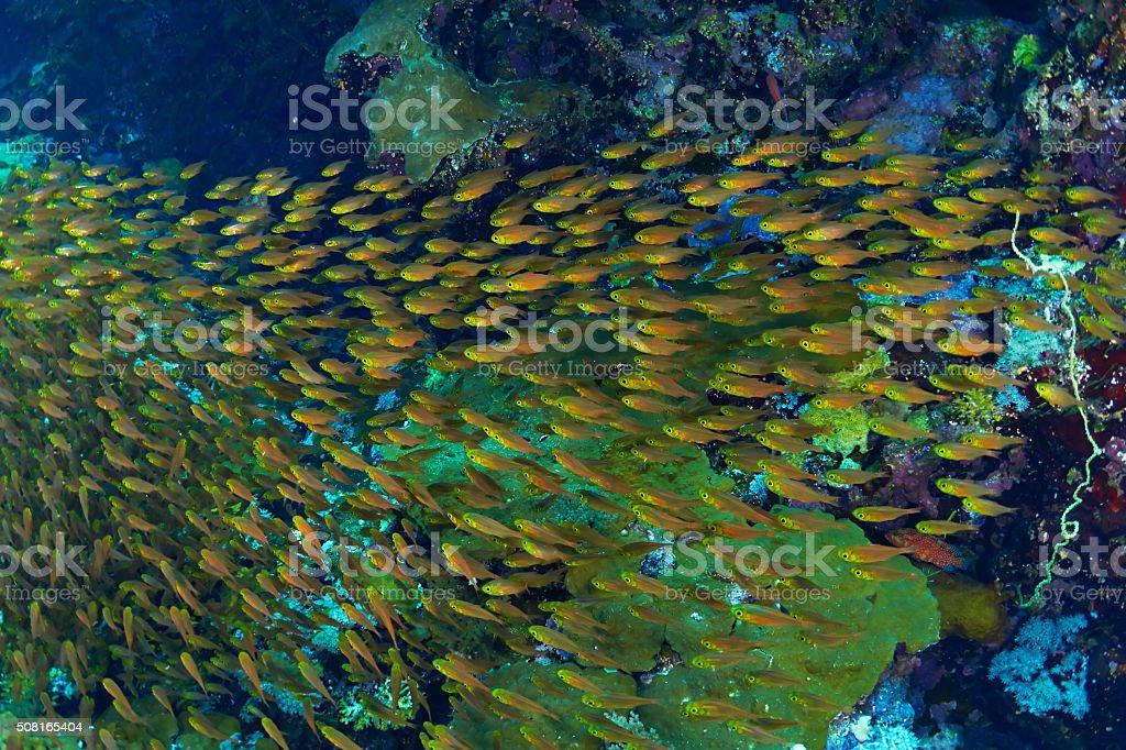 Glassfishes stock photo