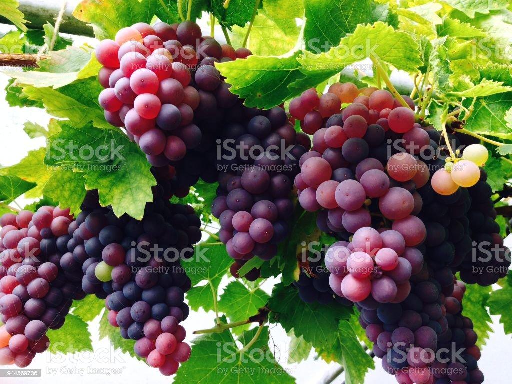 Glasshouse grapes harvest stock photo