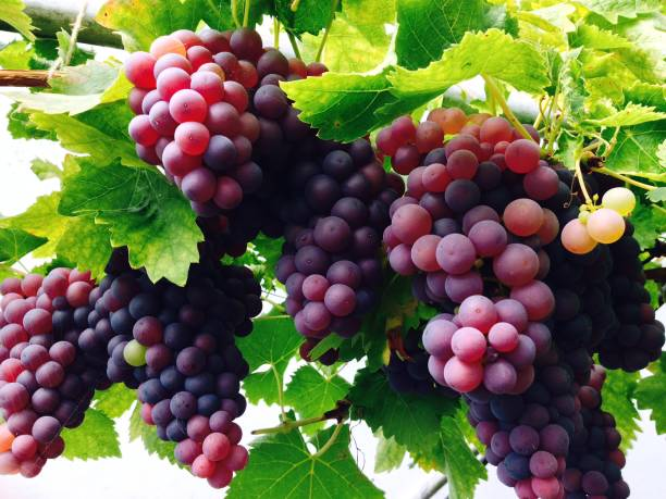 glasshouse grapes harvest - ripe stock photos and pictures