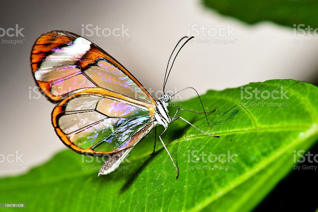 Glasswing Butterfly stock photo