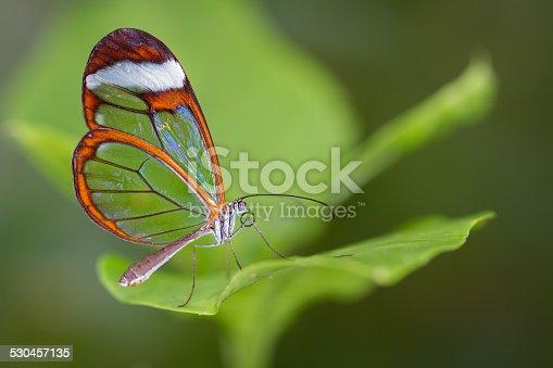 istock Glasswing Butterfly 530457135