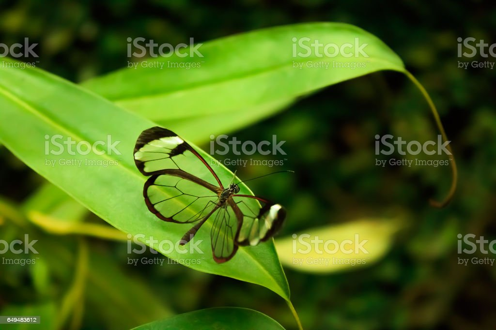 Glasswinged Butterfly (Greta oto) stock photo