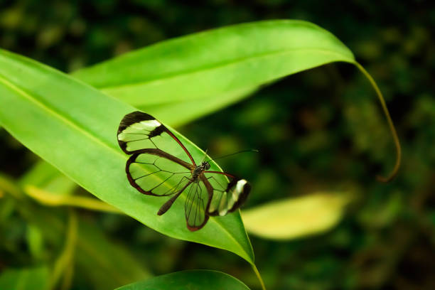 Glasswinged Butterfly (Greta oto) stock photo