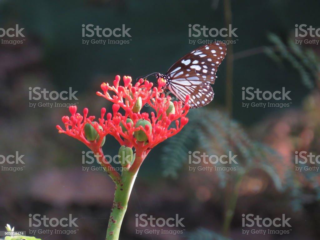 Kupfer-tiger butterfly - Lizenzfrei Blume Stock-Foto