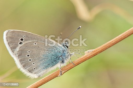Glaucopsyche alexis, green underside blue butterfly of the family Lycaenidae