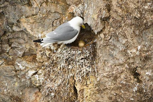 Glaucous Gull Nesting on Prins Karls Forland, Svalbard Islands, Arctic, Longyearbyen, Northern Europe, Norway