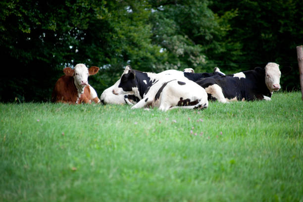glückliche kühe liegen auf der wiese stock photo