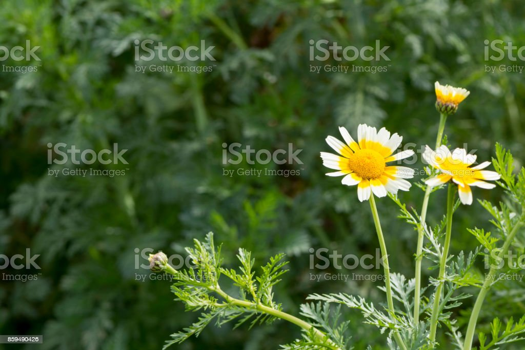 Glebonis Coronaria Chrysanthemums - White and yellow daisies stock photo