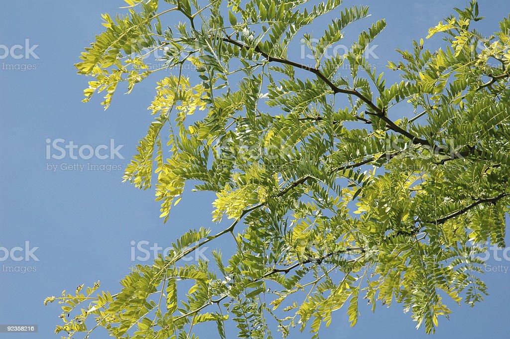 Gleditsia triacanthos Sunburst - The honey locust tree. stock photo