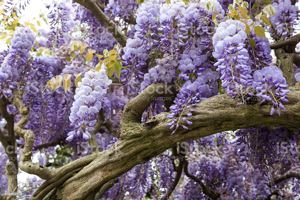 Glicine (Wisteria floribunda) stock photo