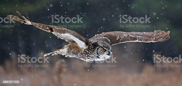 Gliding great horned owl picture id486291205?b=1&k=6&m=486291205&s=612x612&h=av5r7ruofeyzpipi7efwvq41iyps7k4mt7satwiahuc=