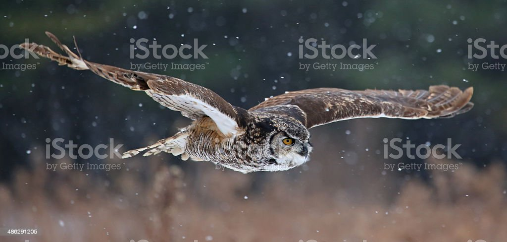 Gliding Great Horned Owl stock photo