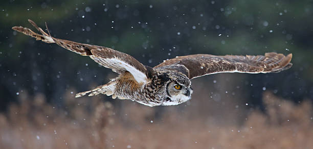 gliding great horned owl - amerikaanse oehoe stockfoto's en -beelden