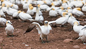 A glimpse at Bonaventure Island's world's largest colony of Northern gannets, where over 200 thousand birds call this place home 6 months out of the year.